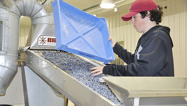 Amy Booker | The Brewton Standard An employe with the Escambia Blueberry Growers Inc. empties a tray of blueberries onto the sorter earlier this week.